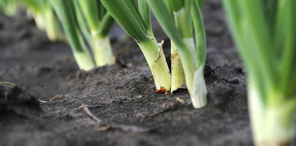Oomen-Onions-photo-3